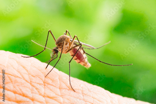In de dag Tijger Aedes aegypti Mosquito. Close up a Mosquito sucking human blood,Mosquito Vector-borne diseases,Chikungunya.Dengue fever.Rift Valley fever.Yellow fever.Zika.Mosquito on skin