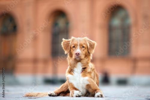 Fotografía nova scotia duck tolling retriever dog posing outdoors