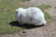 canvas print picture - white Flemish Giant rabbit