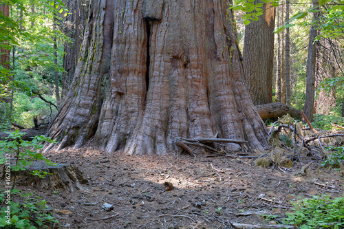 Fotografie, Obraz  Base of the trunk of a giant tree, Sequoia sempervirens, at Calaveras Big Trees
