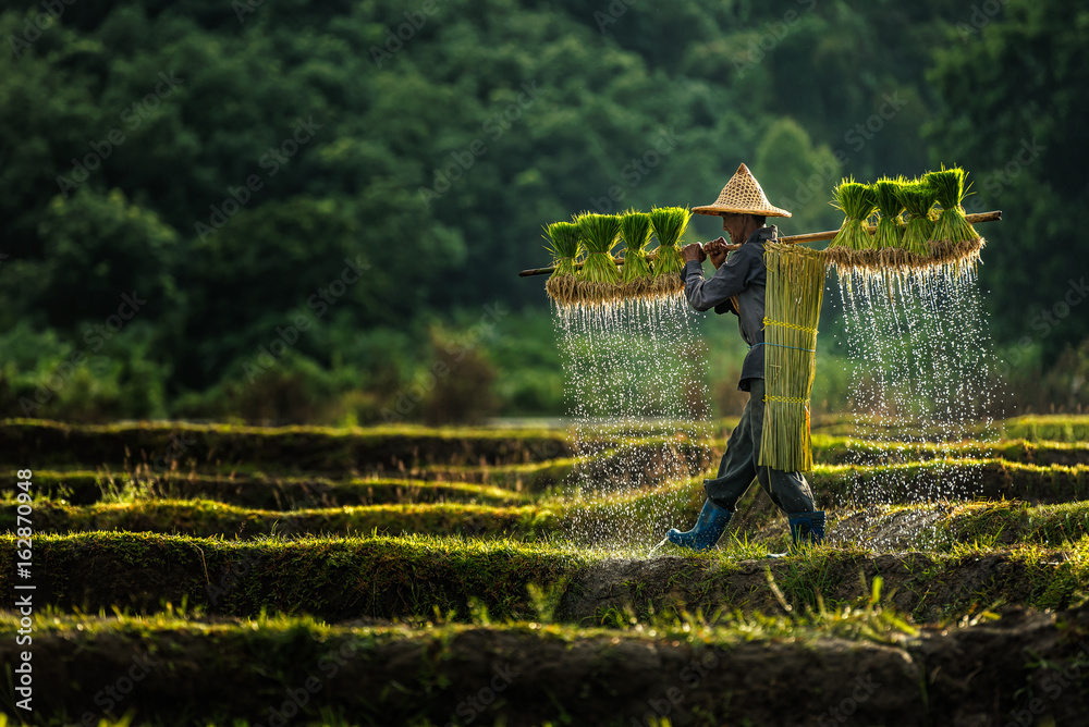 Fototapeta Farmers grow rice in the rainy season. They were soaked with water and mud to be prepared for planting.