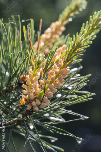 Pollen spreaders on a pine tree branch  - Buy this stock photo and