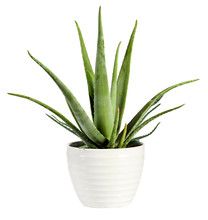Isolated Fresh Aloe Vera Plant...