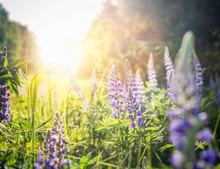 Beautiful Summer Floral Background, Lupine Flowers In The Sunset In A Summer Forest