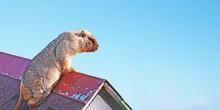 Steppe Marmot (bobak) On The R...