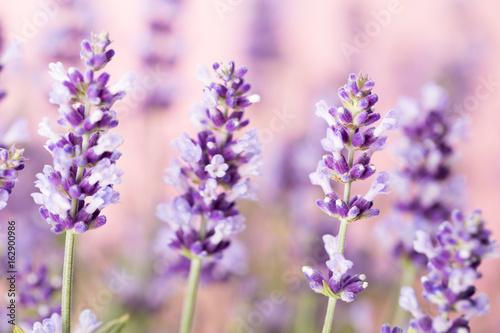 Photo  Lavender flowers.