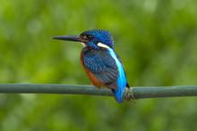 Blue-eared Kingfisher Perching...