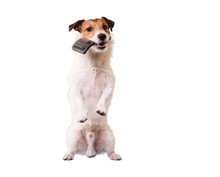 Dog Standing On Hind Legs Holding Grooming Brush In Mouth