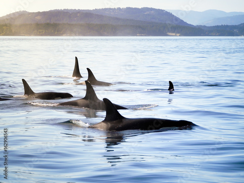 Pod of orca (killer whales) moving together in a costal landscape