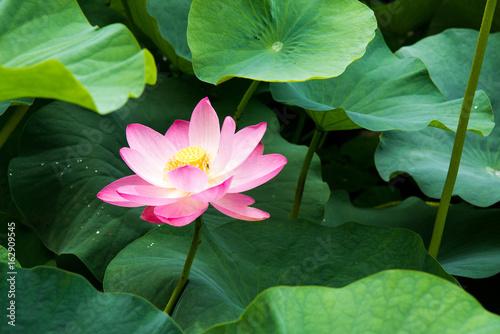 自然 植物 ハスの花