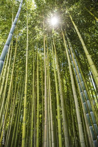 Plakat Bambusowy las w Włochy