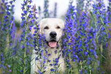Beautiful Golden Retriever Dog Posing In Summer Flowers