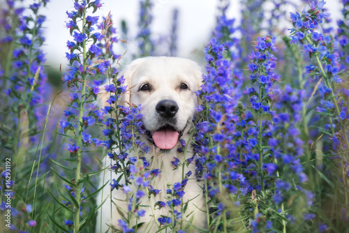 Fotomural beautiful golden retriever dog posing in summer flowers