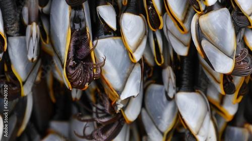 Gooseneck Barnacles, Pedunculata