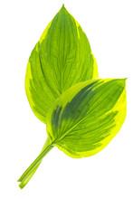 Green Leaves Of Garden Plant I...