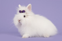 Pretty Long-haired Angora Whit...