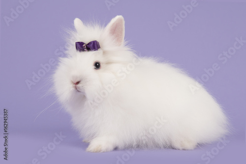 Pretty long-haired angora white rabbit with a purple bow on a lavender purple ba Canvas Print