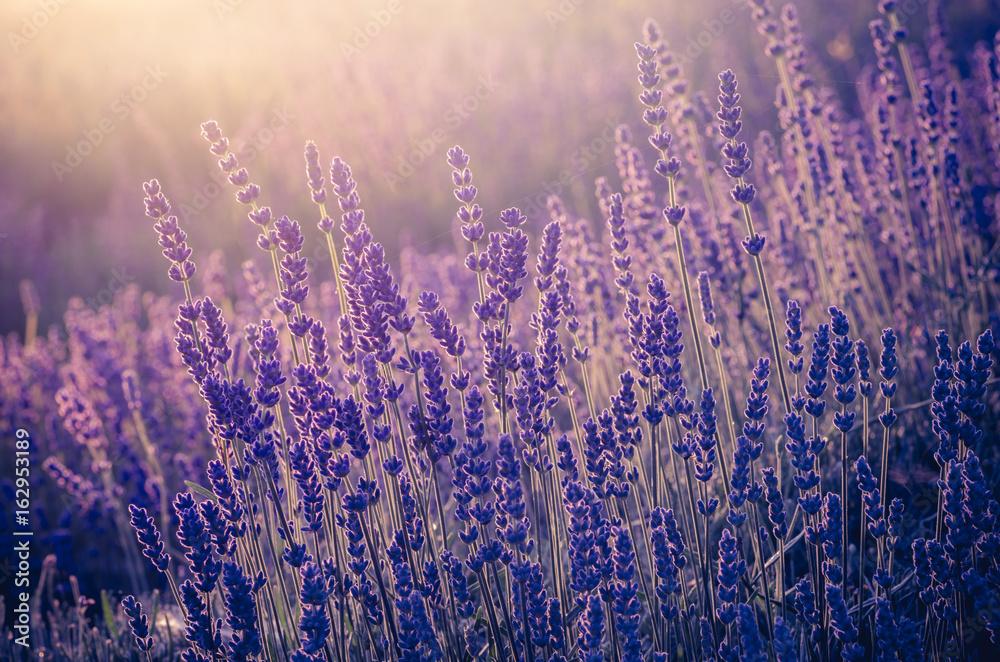 Fototapety, obrazy: Kwiaty lawendy kwitnące w słońcu