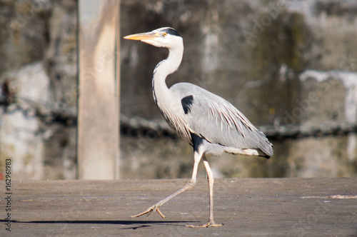 Heron strutting at harbour Canvas Print