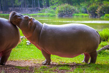 Hippopotamus, Hippopotamus Afr...