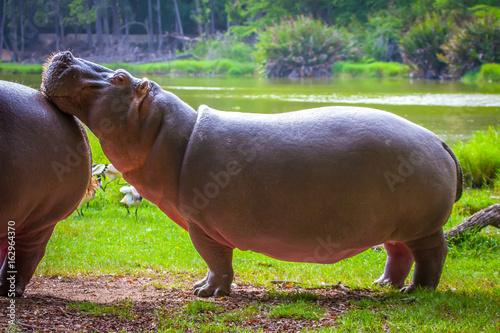 hippopotamus, hippopotamus Africa Kenya. (Hippopotamus amphibius).