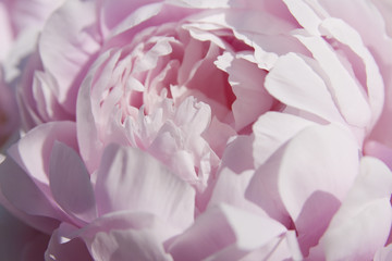 Panel Szklany Peonie Close up of a beautiful pink peony.