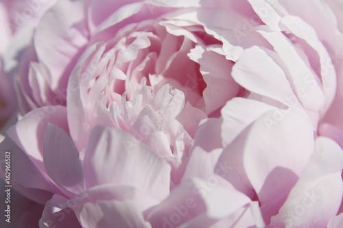 Close up of a beautiful pink peony. - 162966582