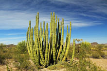 Large Organ Pipe Cactus And Bl...