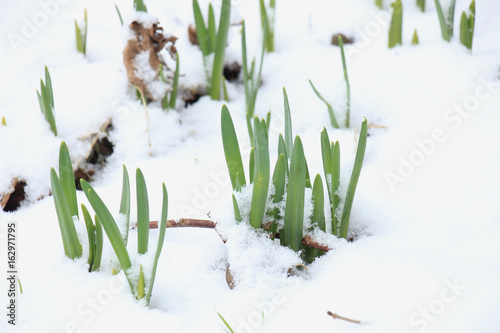 Narcissus Small daffodils in the snow