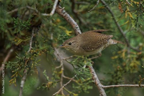 Fotografie, Obraz  House wren (Troglodytes aedon) on cedar branches.