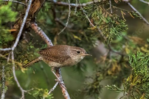 Valokuva House wren on cedar tree