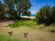 Chickens at Kealia Beach, Kapaa, Kauai, Hawaii, USA