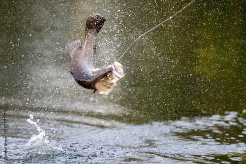 okoniowata-ryba-wyskakujaca-z-wody-walka-z-wedkarzem