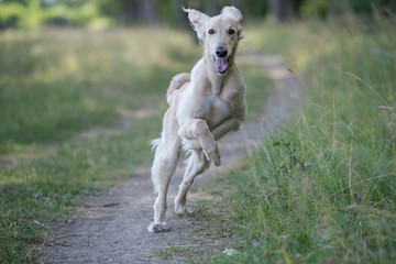 Kyrgyzian  Sight hound Taigan dog running on the grass