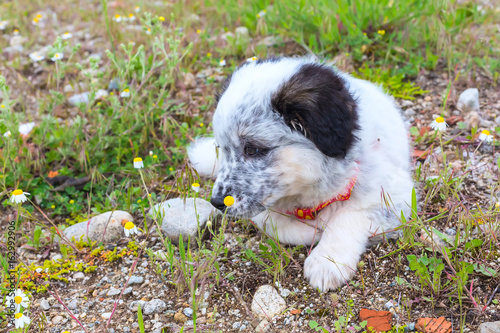 Tuinposter Franse bulldog Cute white and black bulgarian shepherd dog puppy looking at the flower