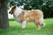 Rough Collie Profile On The Farm In Missouri