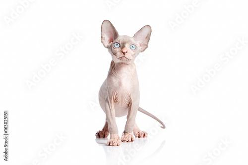 Hairless Cat Kittens