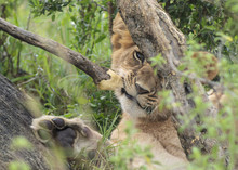Lion Cub Chewing On A Branch U...