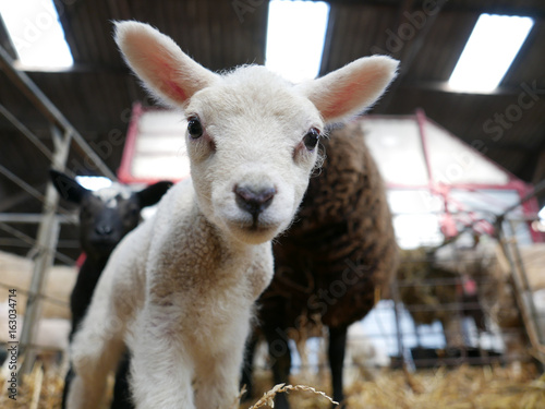 Foto auf AluDibond Lama An adorable white lamb discovering the camera in its stall.