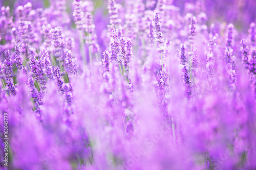 Poster Prune Beautiful image of lavender field over summer sunset landscape.