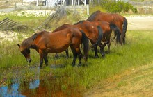 Wild Horses Of Corolla North Carolina In The Outer Banks