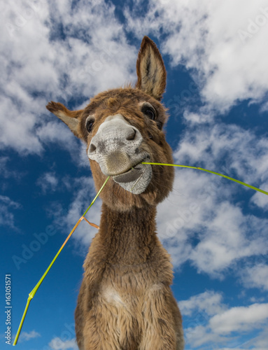 Portrait of a funny looking Cute fluffy donkey eating grass