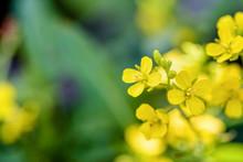 Closeup Beautiful Small Yellow...
