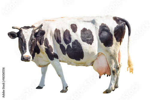 Staande foto Koe Black and white cow with a large udder isolated on white background. Spotted funny cow full length isolated on white. Farm animals