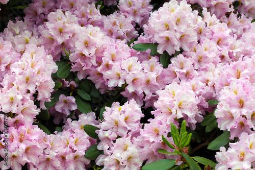 Plakat Różowy różanecznikowy krzak w kwiacie