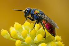 Cuckoo Wasp. It Lays Its Eggs ...
