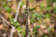 Golden-ringed Dragonfly, Cordu...