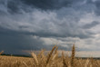 Wheat Field and stormy clouds
