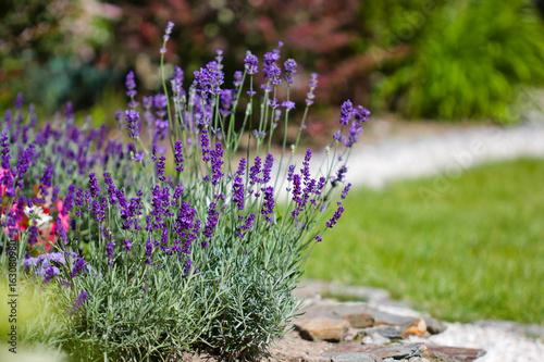 summer flowers in the garden  - lavender Wallpaper Mural