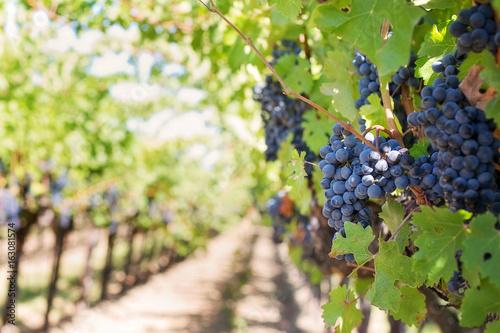Fotografía  Grappes de raisin rouge dans une vigne